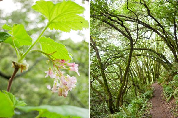 Pink flowering currant, huckleberry botanic regional preserve