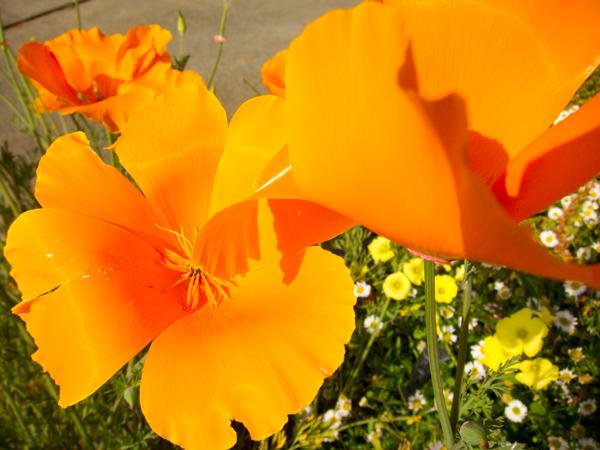 poppies, orange poppies