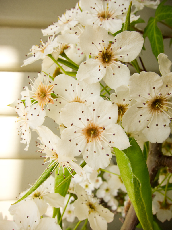 prosperity, white plum blossoms