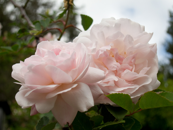 pink roses, roses in bloom, climbing roses