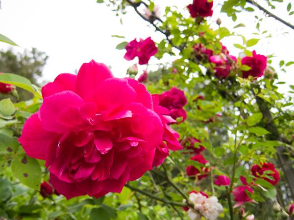 climbing rose in bloom, fuscia rose blooms