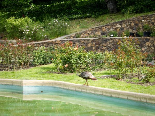 wild turkey, reflecting pool, morcom rose garden