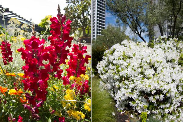 snapdragons, rhodedendron, kaiser roof garden