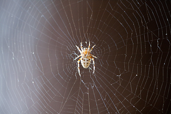 backyard spider, california spider