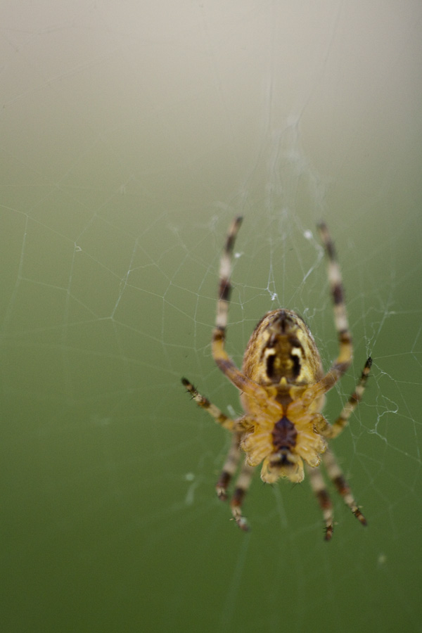 close up photography spiders, backyard spiders, california spiders