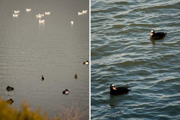 marsh birds, east bay bird watching