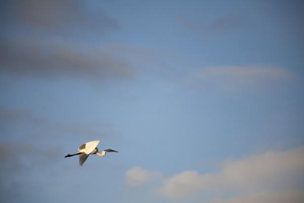 great egret, east bay marsh birds