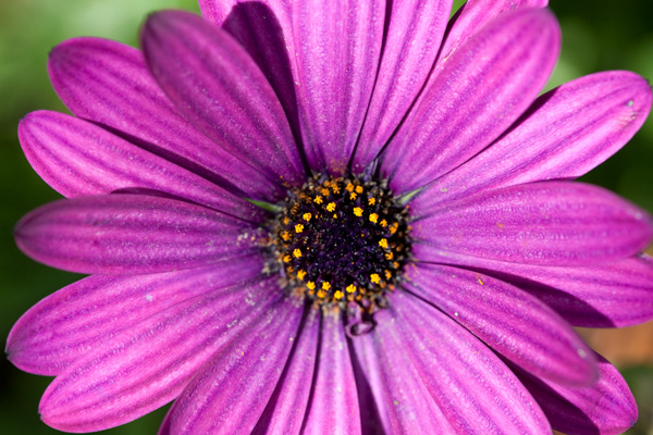 purple daisy, drought tolerant daisy