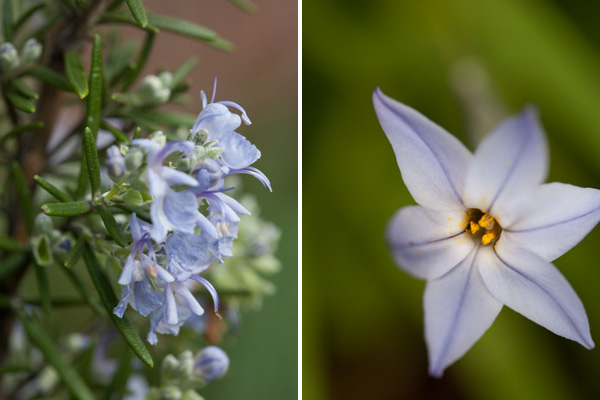 blooming rosemary, small purple lily