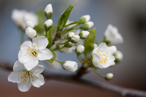 cherry plum blossoms, plum blossoms