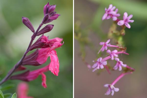 fuschia monkey flower, tiny pink clustered flowers