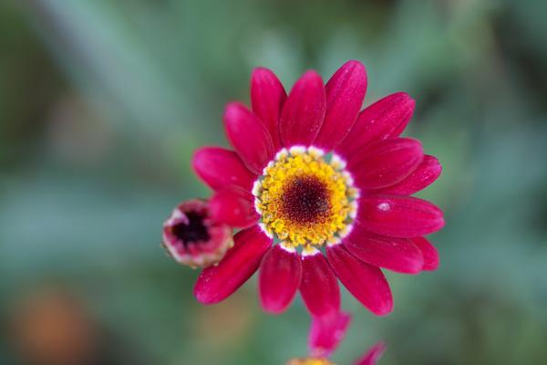 perenial pink flowers