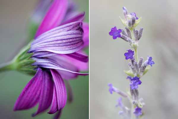 lavender flowers, blooming lavendar, purple daisy