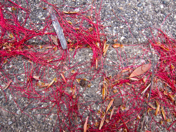 Bottlebrush petals on sidewalk
