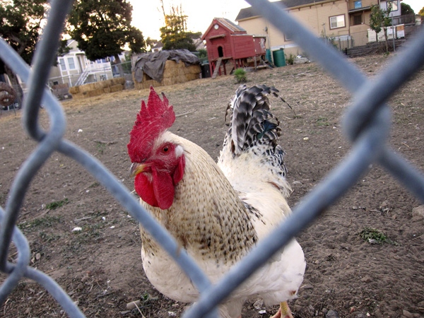 west oakland rooster, cockadoodle doo, west oakland chicken farm